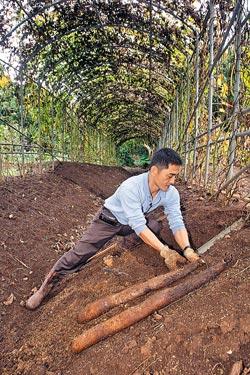 ▲每年10月至翌年3月是陽明山山藥採收季節,台北市士林區山藥產銷班第一班班長張志清,正挖開土壤採收。攝影  陳麒全