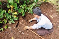 ▲陽明山土壤帶黏性,適合種植山藥。攝影  陳麒全