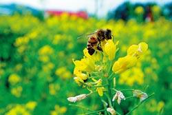 ▲苗栗農改場主要以蠶跟蜜蜂為研究主題,還會訓練蜜蜂不撞牆,非常可愛。攝影  陳志東