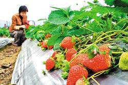 ▲草莓通常有5個花期,其中又以春節前後的第二花期最鮮甜。攝影  陳志東