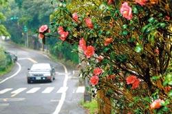 ▲初春之前的陽明山,四處可見茶花盛開,緊接著就是櫻花、杜鵑與海芋登場。攝影  陳志東