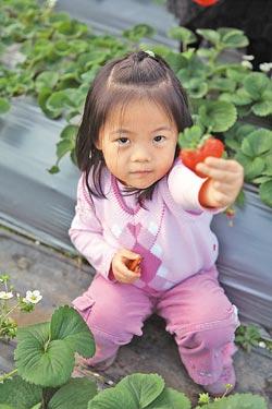 ▲小朋友來到清香農場,看到草莓好興奮。攝影  鄧博仁