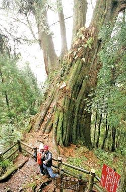▲觀霧的步道到系統中以巨木步道走起最輕鬆,當中二號巨木是最粗壯的一棵,有千年歷史。攝影  陳怡誠