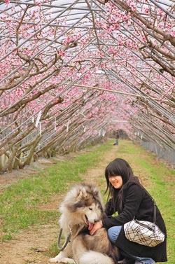 「桃」醉▲梅峰桃花隧道盛開,遊客帶著寵物,倘佯在美麗的風光下。攝影  廖肇祥