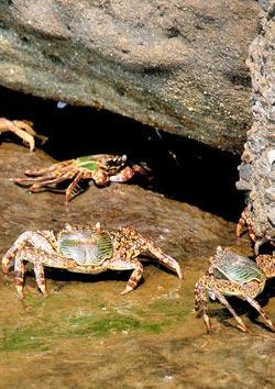 東北角生態螃蟹:海邊橫行的小螃蟹,看到有人接近,趕緊躲進石頭縫中,先躲進去的螃蟹不讓後到的進去,好像是在說,客滿了啦。攝影  王曉鈴