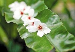 ▲早到的遊客精心擺放桐花,讓晚一步的賞花人會心一笑。攝影  陳怡誠