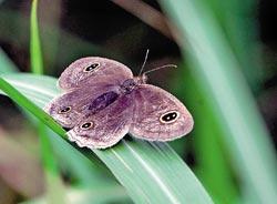 ▲台灣波紋蛇目蝶在金瓜石地質公園現身,翅膀有動物眼睛斑紋。攝影  王曉鈴