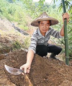 ▲每年5月至10月是綠竹筍的產季,五股觀音山區筍農忙著上山採筍,找筍可是要靠經驗才行。攝影  張鎧乙