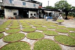 ▲梅雨季節是東方美人茶採收季節,以傳統日曬製茶的日新茶園,每天要配合天氣搬來搬去好幾回。攝影  陳志東