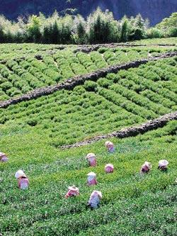 ▲信義鄉玉山茶區的高山茗品極為搶手。攝影  沈揮勝