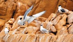 ▲神話鳥隱藏在大鳳頭燕鷗裡面,眼尖才能發現。攝影  王遠茂