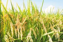 公館稻米一年兩熟,平均比南部晚收1個月,質細香Q。陳志東/攝影